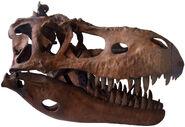 Albertosaurus skull cast