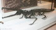 Rutiodon70957s