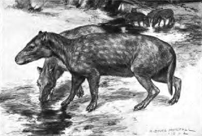 Bothriodon brachyrhynchus