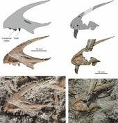 170px-Dracoraptor premaxillae