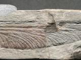 Stephanotypus