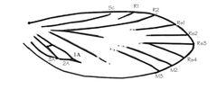 Archaeolepis wing venation.jpg