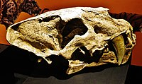 Homotherium crenatidens skull 45