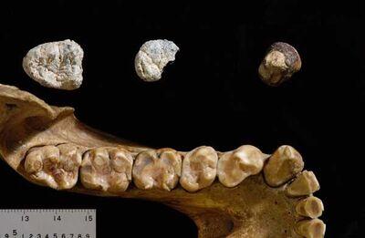 Chororapithecus abyssinicus