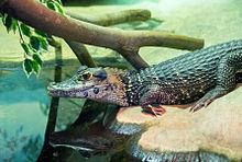 Melanosuchus niger in Moscow zoo.jpg