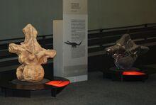 1280px-Argentinosaurus and Puertasaurus vertebrae