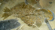 ROM-BurgessShale-CompleteAnomalocarisFossil