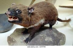 Sarcophilus-laniarius-tasmanian-devil-a2yffm.jpg
