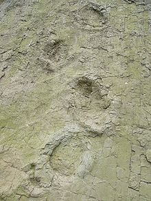 220px-Sauropodtrack-barkhausen