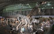 Shantungosaurus skeleton.jpg