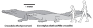 Crocodylus thorbjarnarsoni and Nile crocodile size