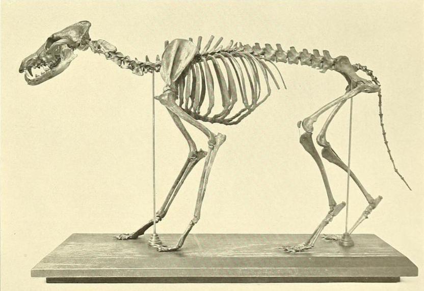 Pleistocene coyote   Dinopedia   FANDOM powered by Wikia