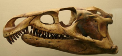 Archosaurus replica skull