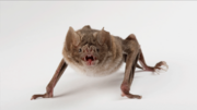 Vampire Bat quadruped.jpg