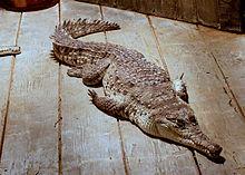 220px-OrinocoCrocodile.jpg
