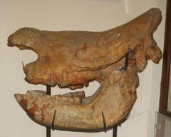 CeratotheriumNeumayriSkull.jpg