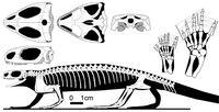 Barasaurus-skeleton