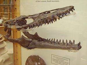 File:300px-Mosasaur skull.JPG