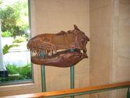 Albertosaurus skull at DAK