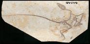 Wulong bohaiensis fossil.jpg