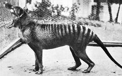 ThylacinePhotograph.jpg