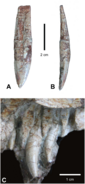 Dentition-of-Carnufex-carolinensis-NCSM-21558-holotype-dentition-Maxillary-tooth-in