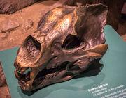 Arctodus simus skull Cleveland