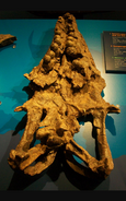 Globidens jaw fossil bottom view.jpg