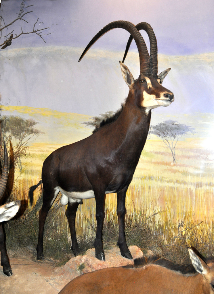 Giant sable antelope   Dinopedia   FANDOM powered by Wikia