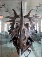 Styracosaurus albertensis skull 02
