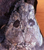 Ichthyostega-skull