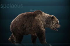800px-Ursus spelaeus Sergiodlarosa.jpg