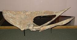 1280px-Tupuxuara skull.JPG