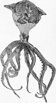 EB1911 Cephalopoda Fig. 39.—Palaeoctopus Newboldi.jpg