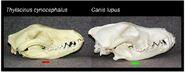 Thylacine and grey wolf skull