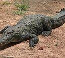 West African Crocodile