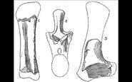 Algoasaurus bones.jpg