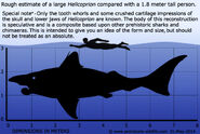 Helicoprion-size