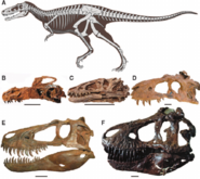 The-anatomy-of-tyrannosaurs-showing-the-variety-of-skeletal-and-cranial-morphology-in