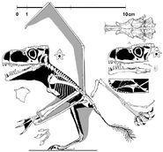 Anurognathus588