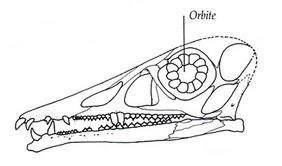 Eudimorphodon 04