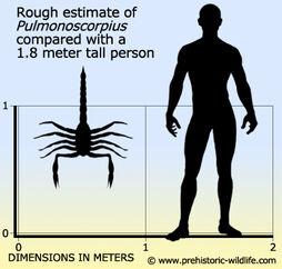 Pulmonoscorpius-size