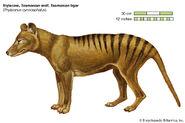 Tiger-Tasmanian-marsupial-thylacine-wolf-island-Australia