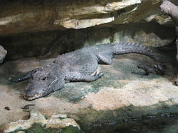 250px-Crocodile nain aquarium porte dorée Paris.JPG