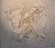 Anurognathus24A 403d