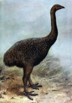 Art impression of the Upland Moa in 1907