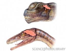 Troodon brain