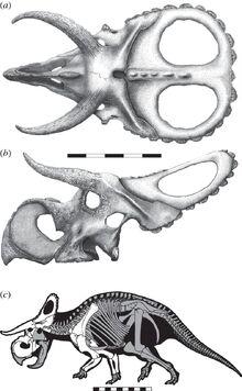 Nasutoceratops skull and skeleton