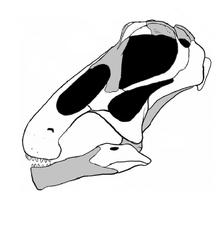 20110520083246Bonitasaura-skull