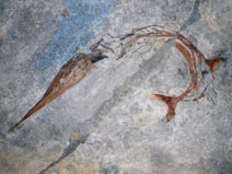 Fossil of Saurichthys curionii